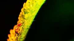 Ant (Carl@CDHPIX) Tags: macro nature closeup mouth insect colours ant