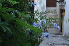 flowers in the old town of Mottola (Mastrolonardo Enzo) Tags: old flowers canon town centro enzo mm 1855 fiori storico mottola 60d schiavonia mastrolonardo