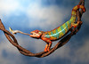 Panther Chameleon Eats Praying Mantis (scott cromwell) Tags: sky tongue mantis eating reptile lizard chameleon prayingmantis pantherchameleon creobroter ambilobe