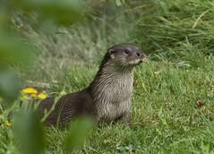 Out of the bushes (Chris Sweet 85) Tags: nature nikon otter bwc europeanotter nikond90