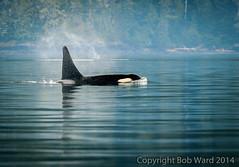 Robson Bight Orca (ak4a) Tags: canada whale orca