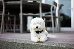 untitled-7.jpg (Brandon Ebel) Tags: leica dog 50mm apo summicron m9 maltipoo f20