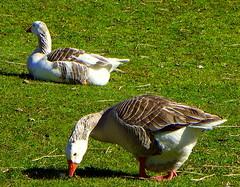 Geese (Murfomurf) Tags: winter adelaide hills farm winery vineyard lunch eating wedding venue bb south australia southernhemisphere 2014 bird southaustralia