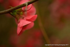 Disarmingly Charming (T i s d a l e) Tags: tisdale disarminglycharming bloom flower japanesequince winter february 2017 easternnc