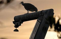 Vulture's Sunset (Poocher7) Tags: birds vulture blackvulture perched watching observing sunset hoist metal fishingvillage goodlandfl florida southwestflorida usa lagoon