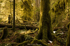 Fern Gully (Stephanie Sinclair) Tags: britishcolumbia canada cathedralgrove vancouverisland ancientforest green oldgrowthforest seattleempress stephaniesinclairphotography trees winter2017 nikon zeiss