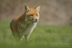 Country fox (Natureimmortal) Tags: animal beast beauty britain brown burrow canidae canine carnivore closeup creature cute england european eye face field forest forrest fox fur furry grass green hunt hunter hunting little look mammal nature nose orange outdoors portrait predator red redfox spring stare vulpes vulpesvulpes watch white wild wildlife young