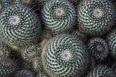 Golden section (marensr) Tags: cactus macro mathematics golden section nature green white cacti chicago botanic garden texture