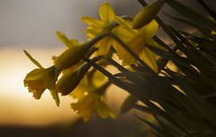 Renewel (shawn›raisin d+p) Tags: gold canon6d narcissus nature plant shawnwhite bokeh calm daffodil flower garden hope peaceful reflective relaxing restful serene serenity sky spring sunset telephoto tranquil yellow