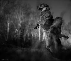Danse avec les loups.... (Pilouchy) Tags: danse loups monochrome blackandwhite wolf wood free nature wild chemin regard eyes yeux life vie noir lumiere