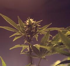 Cannabis (ganjatographer) Tags: cannabis weed marijuana pot 420 dank chronic stoner medical indica sativa legalization