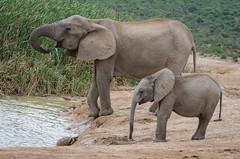 Rencontre de la tortue et de l'éléphanteau.jpg (BoCat31) Tags: faunesauvage afrique tortue rencontre