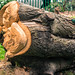FALLEN TREE IN THE PEOPLE'S PARK IN LIMERICK {NOTE THE REMAINS OF THE METAL RAILINGS EMBEDDED IN THE WOOD]