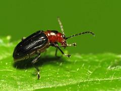 Leaf Beetle (treegrow) Tags: macro nature insect washingtondc beetle rockcreekpark arthropoda coleoptera chrysomelidae lifeonearth raynoxdcr250 canonspeedlite430exii canonpowershotsx40hs taxonomy:binomial=oulemasayi oulemasayi