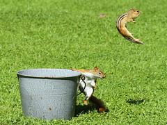 Where Did That Chipmunk Go? (Diane Marshman) Tags: red brown white black nature fur fun rodent bucket jumping squirrel pennsylvania stripes wildlife small tan rusty pa chipmunk pail
