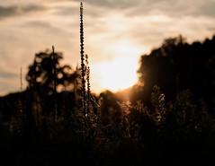 Abend an der Wildblumenwiese #2
