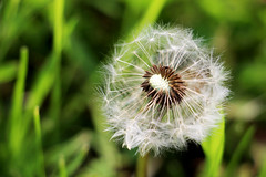 Dandelion (shelby0708) Tags: flower nature grass pretty dandelion makeawish