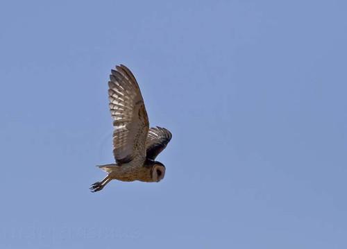 African Grass Owl _6929