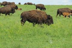 Buffalo herd (Roamer61) Tags: animal mammal bison