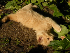 playful (rospix) Tags: uk orange cute nature animal june wales cat countryside ginger kitten play 2014 rospix