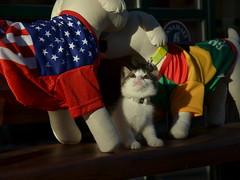 Gem (eva101) Tags: rescue brooklyn cat fun kitten soccer jersey williamsburg gothamist adoptsheltercat adoptdontshop ps9pets