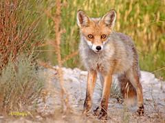 Zorro común o rojo (Vulpes vulpes) (eb3alfmiguel) Tags: rojo o zorro mamiferos común carnivoros
