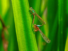 Nature (Nomadic074) Tags: reeds dragonflies