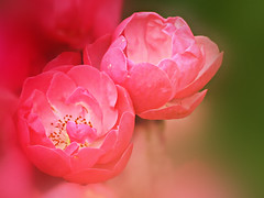 pink roses (HocusFocusClick) Tags: flowers roses nature garden awesomeblossoms