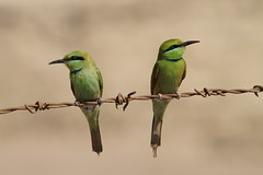 Little Green Bee-eaters, Ramesseum, West Bank, Luxor, Egypt    {Explore - 13/07/2014 - Highest Position 2} (Andy_Hartley) Tags: bird birds westbank egypt explore luxor beeeater ramesseum greenbeeeater flickrexplore littlegreenbeeeater explored