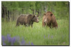 Grand Teton's Queen Grizzly…..399 (jeannie'spix) Tags: bear june 2014 399 wildflowertrip grizzle june14 specanimal cattlemanbridge grandtetonsspring