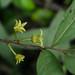 Polyalthia sp. (Annonaceae)