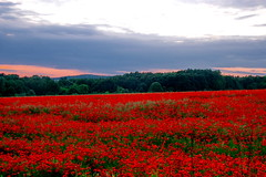 Where the Poppies Grow (tcherana) Tags: sunset red summer color nature beautiful field landscape al nice scenery colorful europe view pentax cloudy kitlens sunny ukraine views poppy poppies 1855mm 1855 dslr picturesque smc easterneurope      poppyfield f3556  pentaxdslr pentaxlens easternukraine   poppiesfield k100d pentaxda   pentaxkitlens ukrainianlandscape ukrainianscenery ukrainiannature smcpentaxda1855mmf3556al cherana tcherana khmelnitskiyoblast pentaxk100dsuper oblastofkhmelnitskiy  landscapeofukraine sceneriesofukraine landscapesofukraine