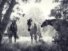 Peeking through the bushes (andzwe) Tags: paarden doorkijkje dreamy dromerig vista bushes three drie horses peeking looking kijken blackandwhite zwartwit netherlands nederland dutch romantic romantisch grijzen grey andzwe © ©andzwe panasonicdmcgh4 panasoniclumixdmcgh4 gh4 panasonic copyright lumix drenthe drente lovepeacehappiness panachallenge
