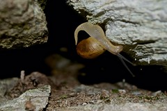 Barraskiloa - Snail (Dabe Sau) Tags: macro snail natura caracol animaliak barraskiloa