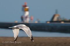 Faster Than Light (jah32) Tags: light seagulls lighthouse lake beach water nikon lakeerie seagull flight greatlakes beaches atthebeach seabirds portburwell thegreatlakes d7000