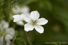 "White Geranium • <a style=""font-size:0.8em;"" href=""http://www.flickr.com/photos/63501323@N07/14758039246/"" target=""_blank"">View on Flickr</a>"