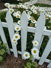 Naperville, IL, Naper Settlement, White Fence and Daisies (Mary Warren (6.3+ Million Views)) Tags: flowers plants nature daisies fence flora blossoms blooms napervilleil napersettlement