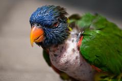 bare chested lorikeet (borrowedmuse) Tags: bird lorikeet zoo stress feathers balding lostfeathers skin redeye featherless