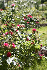 2014-07-25 Sommaren 2014023 - Frankfurt Rose (HAKANU) Tags: red summer flower rose bush cabin sweden frankfurt smland shrub summerhouse rosegarden rosebush rosarium