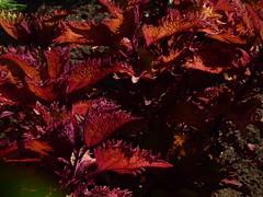 Blumen-Gartenanlage, Buntnessel (Solenostemon scutellaroides); Vancouver, Stanley Park (91) (Chironius) Tags: britishcolumbia kanada lamiaceae mentha minze lamiales lippenblütler asterids lippenblütlerartige nepetoideae mentheae lamiids