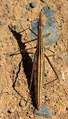 Unknown stick insect 2.1 (Andyfrog321) Tags: peru andy expedition animals bug baker wildlife insects bugs andes arthropods smallcreature worldchallenge