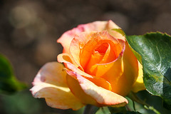 Orange Rose (AmbitiousJam) Tags: flower nature floral rose canon floralappreciation