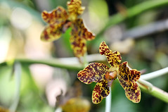 Tiger Orchid Bloom | Botanic Garden, Singapore (Ping Timeout) Tags: park orchid flower macro up cane garden giant singapore asia close blossom native south tiger sugar queen east tropical bloom huge tropic botanic largest grammatophyllum speciosum