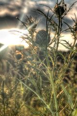 You Prick? (Ron Bizzle Jr.) Tags: sun plant green weed grow flare prick spikes hdr
