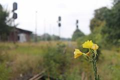 Blühender Bahnhof Klötze (perspective-OL) Tags: bahnhof bahn bahnübergang salzwedel klötze oebisfelde kloetze schienenverkehr weinkellerei bandau purnitz bahnstracke