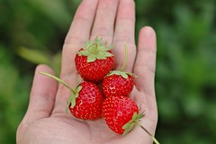 Homegrown strawberries (NgoPhotographyPlz) Tags: