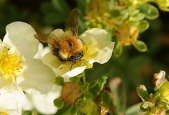 Fuzz (dlanor smada) Tags: flowers bees bumblebees potentilla bombushypnorum