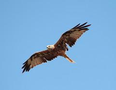 Il re  nudo.. (Dilet) Tags: natura uccelli birdwatching nibbio nibbi nibbioreale