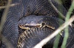 Cottonmouth (DFChurch) Tags: nature reptile snake wildlife swamp corkscrew sanctuary venomous audubon cottonmouth explored