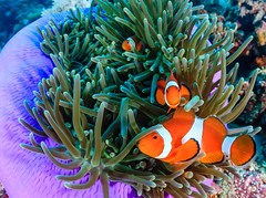 Clownfish in a purple anemone (WhitcombeRD) Tags: ocean life travel blue red sea wild fish motion nature water beauty animal coral swim aquarium marine couple colorful asia soft underwater nemo natural wildlife pair clown under dive hard egypt scuba snorkeling several clownfish anemone tropical environment caribbean boracay aquatic shelter reef behavior undersea anemonefish tentacles ecosystem biodiversity amphiprion